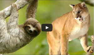 Cougar vs Sloth - Brutal Kill