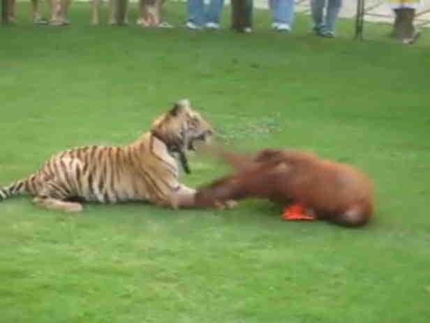 Tigr i orangutan